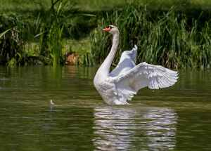 swan-water-bird-animal-nature-54635.jpeg